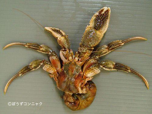 オホーツクホンヤドカリの生物写真