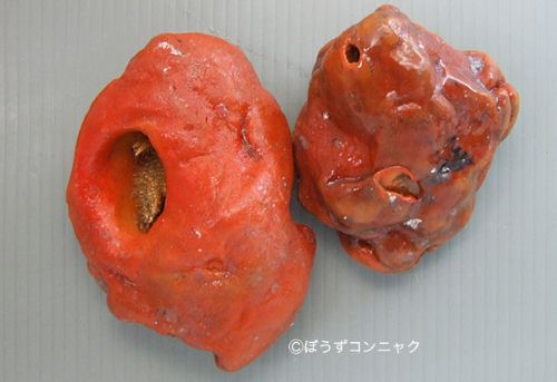 カイメンホンヤドカリの生物写真