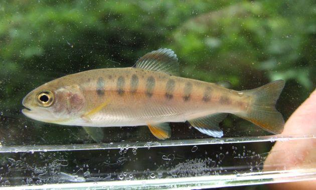 体長30cm前後になる。成熟してもサケの幼時にあるパーマーク(Parr mark)体側に並んでいるが、赤い点は見られない。[写真は天然]