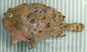 カエルアンコウのサムネイル写真