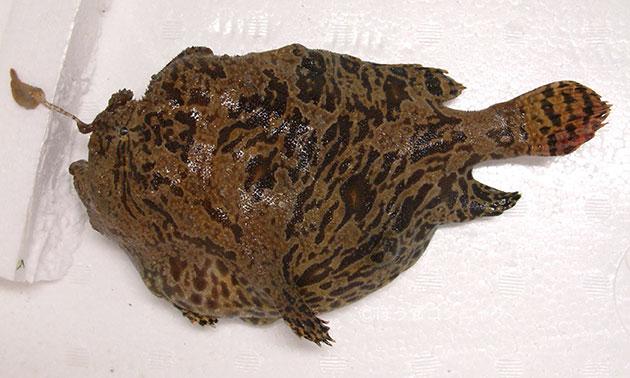 ボンボリカエルアンコウの形態写真