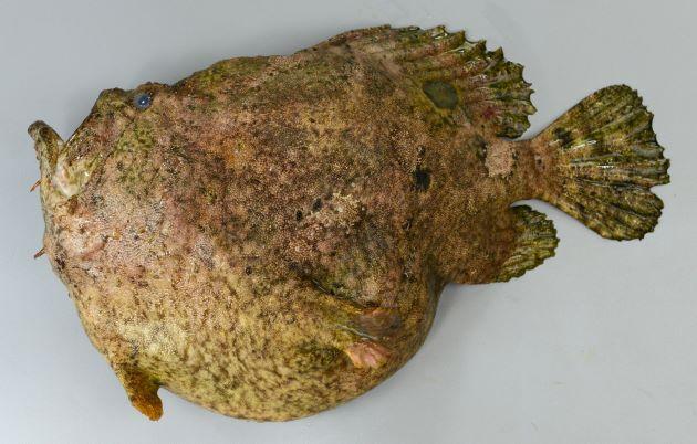 体長40cm、重さ3kg前後になる。胸鰭軟条は分枝して13軟条。