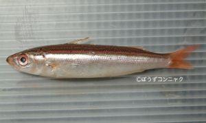 ヒメタカサゴのサムネイル写真