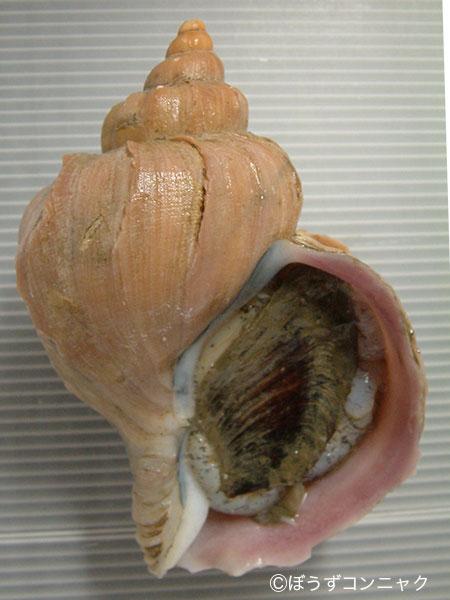 ヒレエゾボラの形態写真