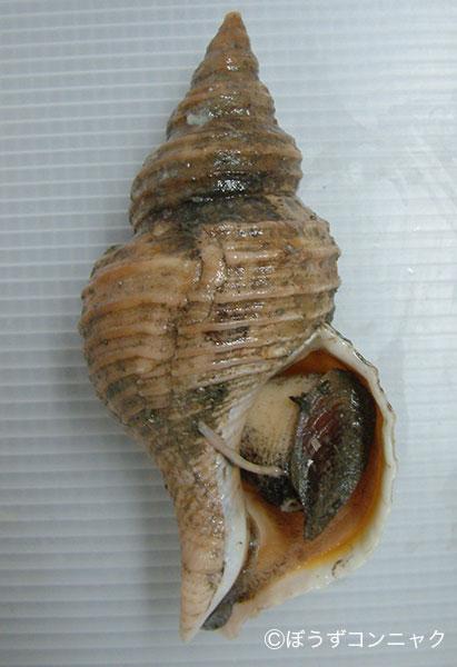 殻長17センチ前後になる。殻高がありのっぽなタイプと、ずんぐりしたタイプの両方がある。貝殻は白く螺肋が強い。