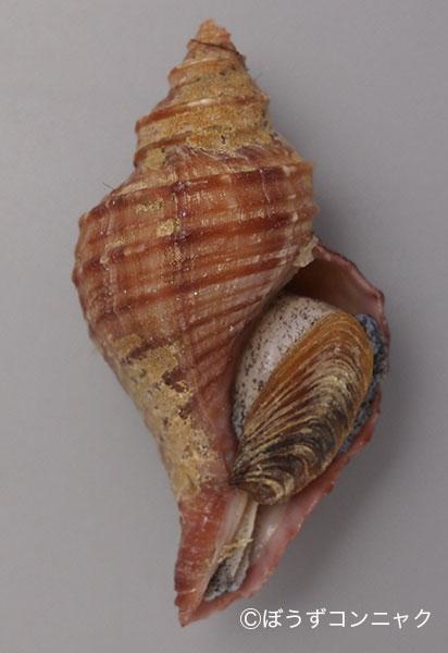 ドウナガエゾボラの形態写真