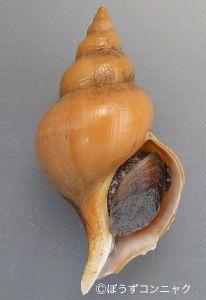 マドカエゾボラ