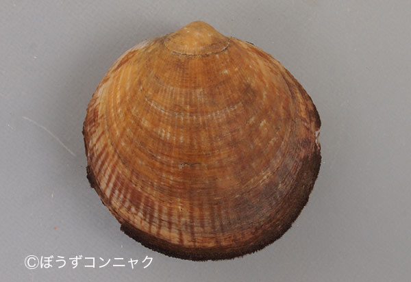 ホンタマキガイの形態写真