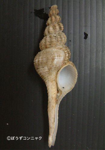 アライトマキナガニシの生物写真