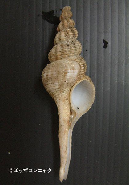 アライトマキナガニシの形態写真