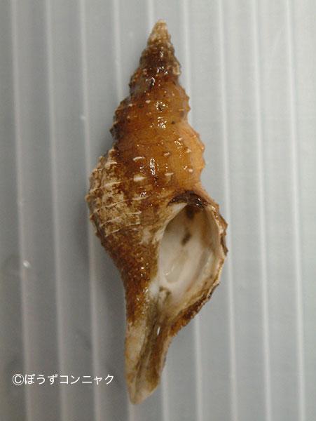 サガミアラレナガニシの形態写真