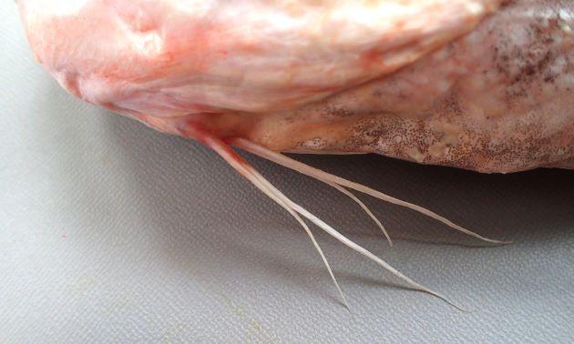 糸状に伸びている腹鰭基部は目の直下から始まる。