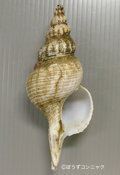 ギボシナガニシの形態写真