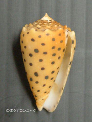 ゴマフイモの生物写真