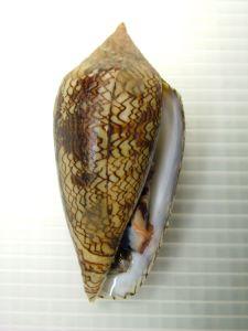 タガヤサンミナシのサムネイル写真