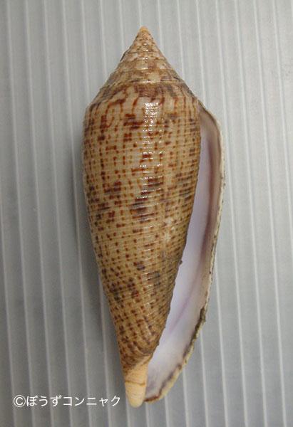 ナガイモの形態写真
