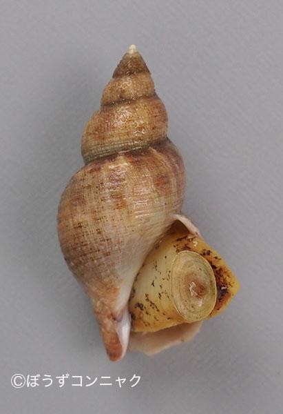 マツマエバイの形態写真