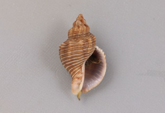 殻長4cm前後になる。螺肋が畝状にくっきりしていて低いところが黒い筋状に見える。貝殻は厚みがあり磁器を思わせる。写真は地色の明るいタイプ。
