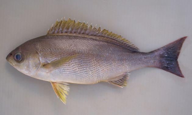 体長40cm以上になる。側扁形(左右に平たい)。目がやや大きく、成魚は全体に青灰色で。幼魚、若魚はやや明るい茶色で濃い褐色の縞文様が縦に走る。[成魚 体長27cm]