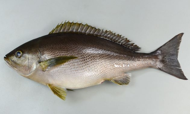 体長40cm以上になる。側扁形(左右に平たい)。目がやや大きく、成魚は全体に青灰色で。幼魚、若魚はやや明るい茶色で濃い褐色の縞文様が縦に走る。[成魚 体長39cm、重さ1.32kg]