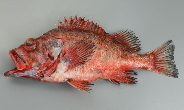 体長50cm前後になる。眼窩下縁に棘がある。背鰭棘は13、尾鰭は浅く湾入。体側に黒い斑紋がやや汚らしくある。背鰭、腹鰭、尻鰭、尾鰭の縁周辺は黒い。頭部背面に褐色の帯が3本ある。はっきりしない個体も多く、鮮度が落ちると不鮮明になる。