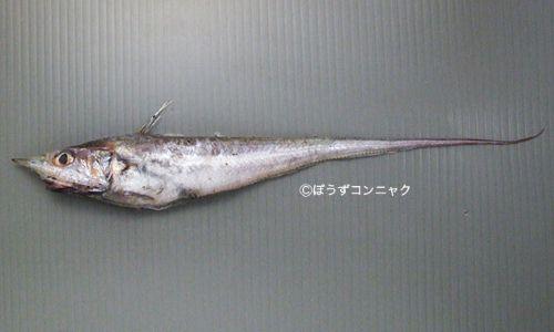 イチモンジヒゲの生物写真