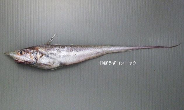イチモンジヒゲの形態写真