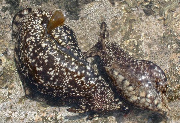 全長30センチ前後になる。貝殻は体内に埋もれている。