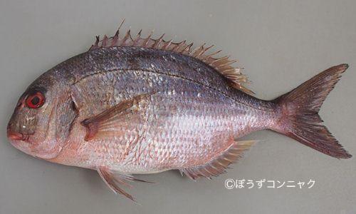 アオボシマダイの生物写真