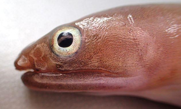 目は口裂の中央付近にあり、吻長より眼径が小さい。