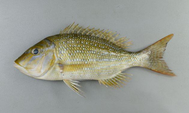 体長1m近くになる。側扁形(左右に平たい)し尾鰭の先端はとがる。若魚のときには白点が散らばるが成魚は無紋(全体に)。顔の周辺にコバルト色の細い筋が見られる。頭は突出して尖っている。鱗(うろこ)は大きく、硬い。口の中が赤い。[若魚]