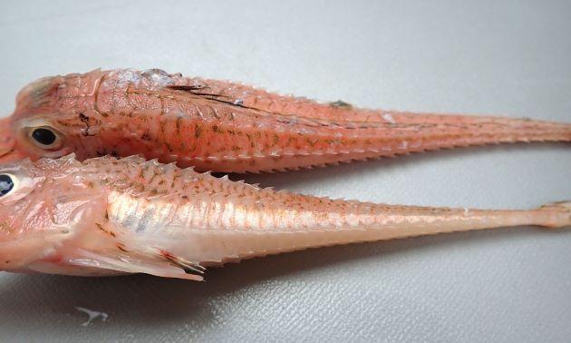 17cm SL 前後になる。前鰓蓋骨下部に顕著な棘がない。吻突起は前方に向かい微かに開く。体側骨盤数は上側列が33-36、下側列が24-27。