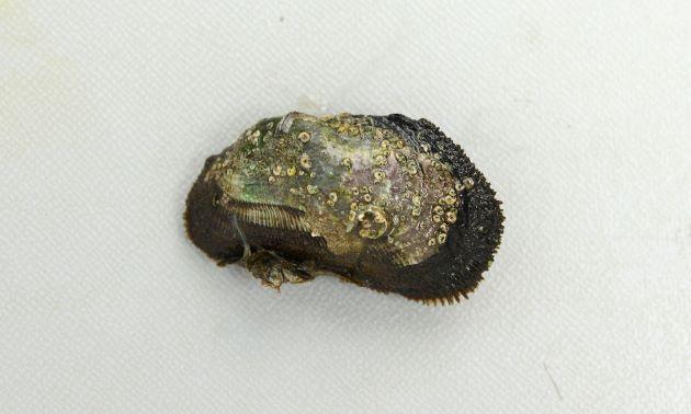カリガネエガイの形態写真