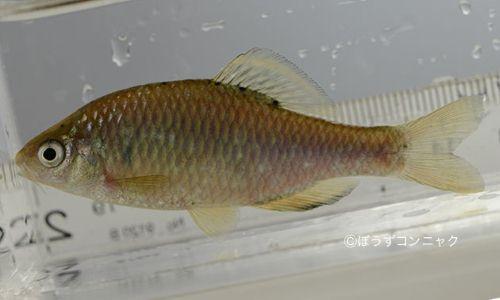 アブラボテの生物写真