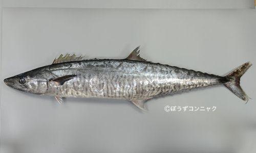 ヨコシマサワラの生物写真