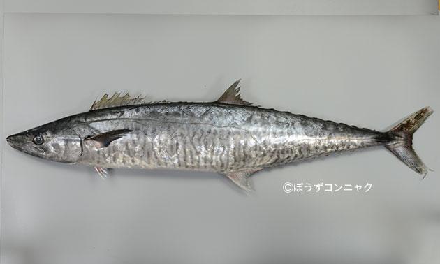 ヨコシマサワラの形態写真