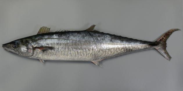 2m TL 前後になる。サワラよりもやや体高があり、濃いグレイの横縞があり、側線は第2背鰭後方で急に下の方に曲がる。