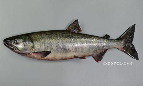 写真は岩手県譜代で11月初旬に揚がった川に上る直前の雄。体長80センチ前後になる。胸鰭と腹鰭が離れている。あぶら鰭があり、尾鰭に銀白色の放射線状の筋がある。重さ3kg-5kg。