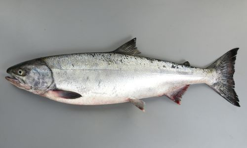 体長80センチ前後になる。胸鰭と腹鰭が離れている。あぶら鰭があり、尾鰭に銀白色の放射線状の筋がある。重さ3kg-5kg。写真は遡上のために沿岸域に集まってきたものだが、比較的成熟度が低い、「銀毛」と呼ばれる個体。