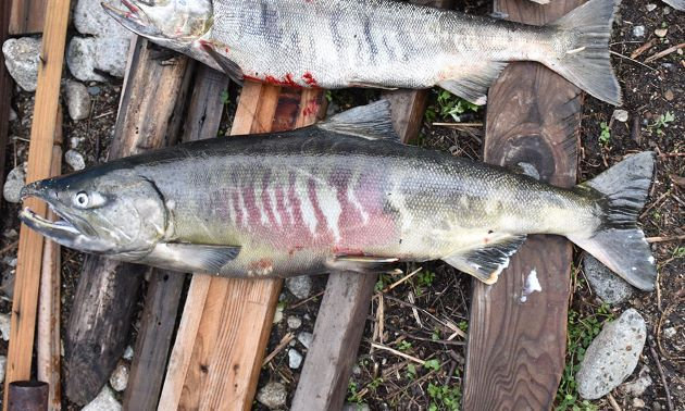 川に上って成熟が進むと雄は鼻が曲がり、体側に「ぶな」と呼ばれる赤褐色の模様が浮き出てくる。