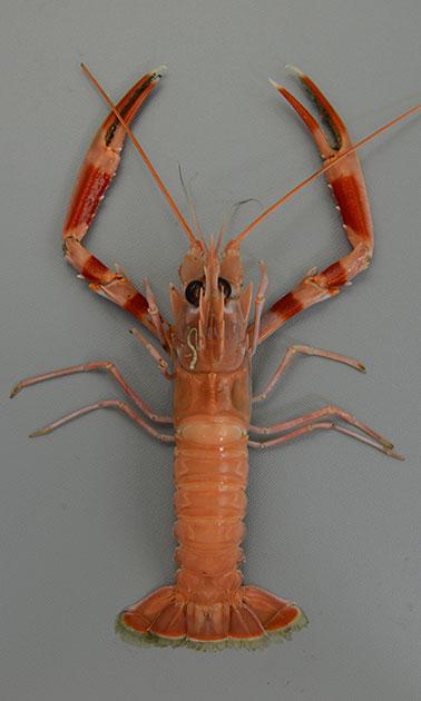ミナミアカザエビの形態写真