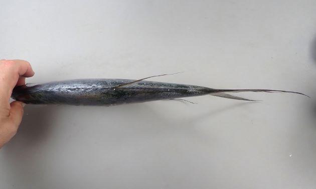 30cm SL 前後になる。著しく側へんし、吻が尖り、上唇前部は頭部から分離する。稜鱗(ぜんご)がない。背鰭棘は棘のみで皮膜で繋がらない。体側に黒点がある。