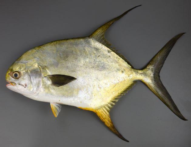 マルコバンの形態写真