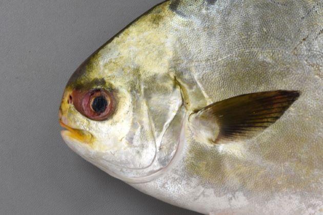 SL 50cm前後になる。体高があるので体長からすると大きく感じる。やや側へんし(左右に平たく)、頭部が非常に小さい。第1背鰭は小さな棘のみで第2背鰭、尻鰭が長い。非常に似ているコガネマルコバンは成魚になると体高がなくより細長く、第2背鰭もあまり長くない。