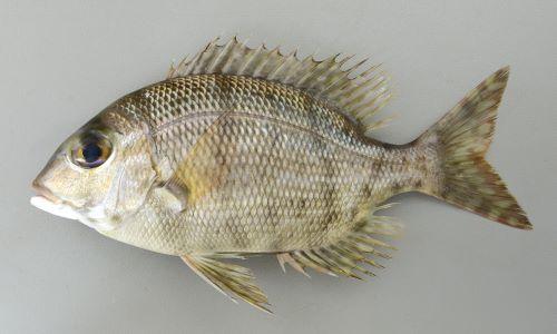 40cm前後になる。側扁し、幼魚、小型には身体を横に走る黒い帯が目にも通るが成魚では縞模様が消える。頬に鱗があり、Trac(側線から背鰭までの鱗の数)は小さいものも含めて5つ。下顎の歯は犬歯状。