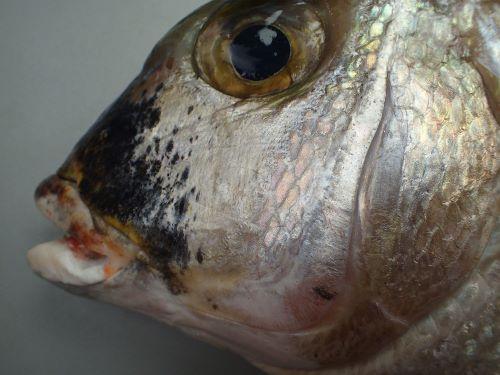 頬(ほお)に鱗があり、主上顎骨は涙骨に覆われ見えにくい。主上顎骨に鋸歯状隆起がない。