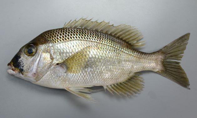 40cm前後になる。側扁し、幼魚、小型には身体を横に走る黒い帯が目にも通るが成魚では縞模様が消える。頬に鱗があり、Trac(側線から背鰭までの鱗の数)は小さいものも含めて5つ。下顎の歯は犬歯状。[体長40cm、1.5kg]