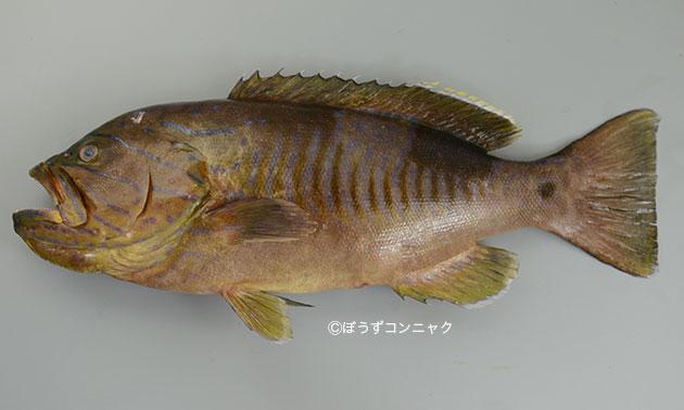 タテスジハタの形態写真