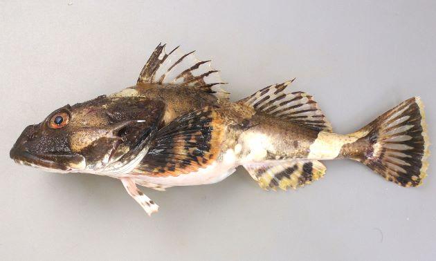 体長70センチ、重さ10kg前後になる。頭が非常に大きく、鰓蓋骨以外に目立つ棘はない。頭部目の後方上に2対の棘があり、皮弁はない。尾鰭の後縁、もしくは後縁近くには透明な帯がある。