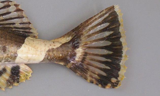 尾鰭の後縁、もしくは後縁近くには透明な帯がある。